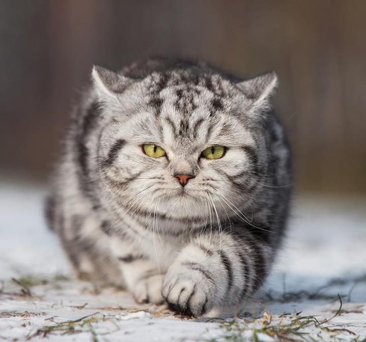 le chat Manx sur laVieDesChats.com