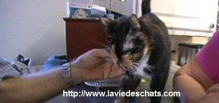 Ce chat américain fait plus de 300 kilometres pour retrouver ses maîtres, laVieDesChats.com vous raconte