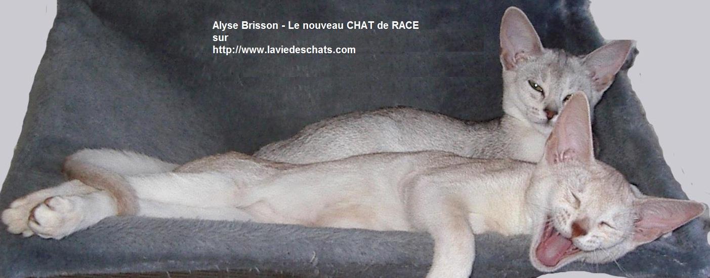 Alyse Brisson - le nouveau CHAT DE RACE