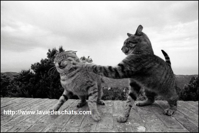 chats se bagarrent sur laVieDesChats.com