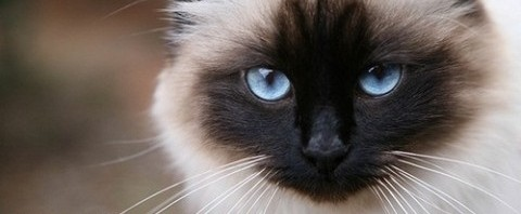 Découvrez le Sacré de Birmanie, un chat de légende sur laVieDesChats.com