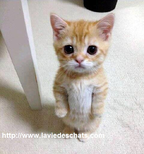 chaton aux yeux implorant sur la viedeschats.com2