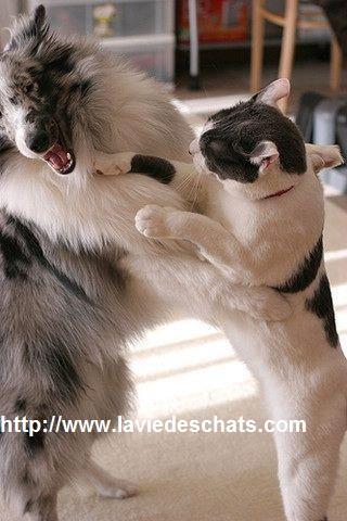 chat boxe un chien sur laVieDesChats.com