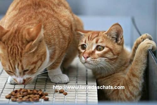 Comment choisir de bonnes croquettes pour chat
