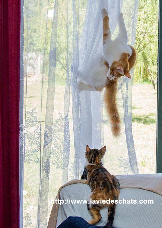 chat joue dans les rideaux sur laVieDesChats.com