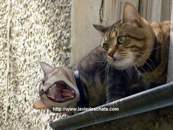 comment régler les problèmes de hiérarchie entre chats