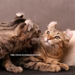 mon premier chat agresse l'autre sur laVieDesChats.com