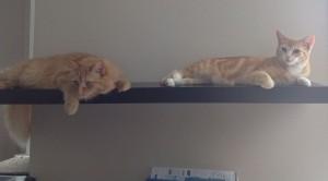 comment reussir la cohabitation entre deux chats