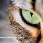 oeil de chat sur laVieDesChats.com