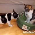 bouledogue et chat sur laVieDesChats.com
