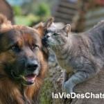 chat et chien berger allemand sur laVieDesChats.com