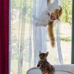 deux chats griffent les rideaux