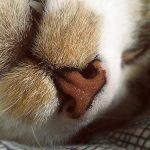 le chat a le nez fin, un odorat puissant