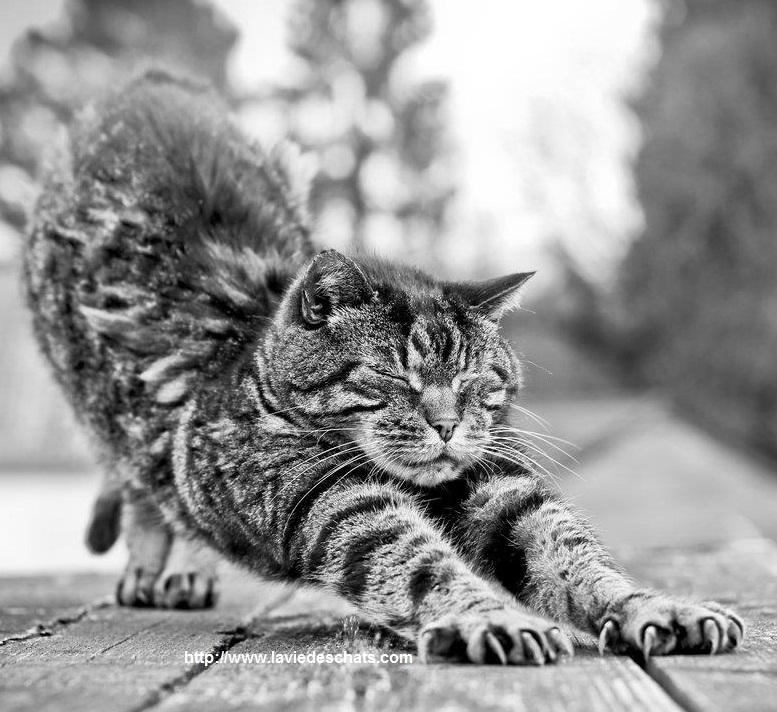 chat s'étire le dos