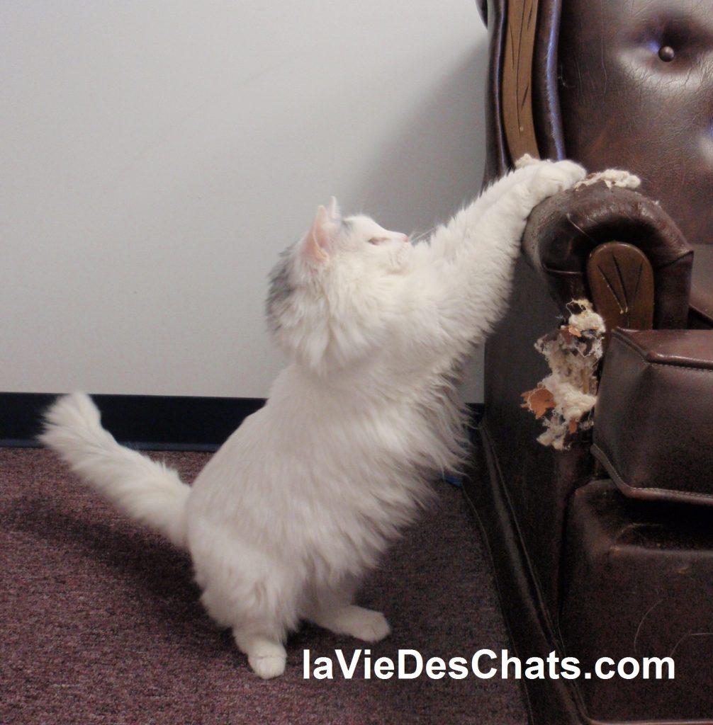 chat faire ses griffes sur les meubles et sur canapé