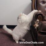 chat fait ses griffes sur canapé