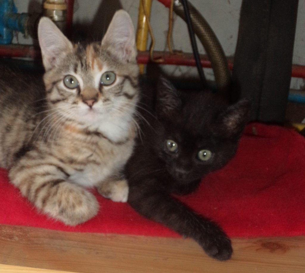 deux chatons recueillis victoire et capucine
