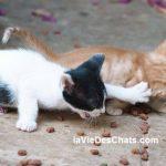 chatons se disputent les croquettes pour chat