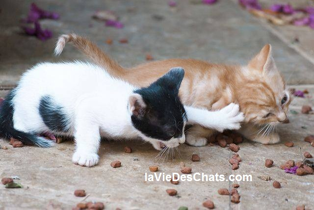 chatons se disputent les croquettes pour chat - recette pour chat