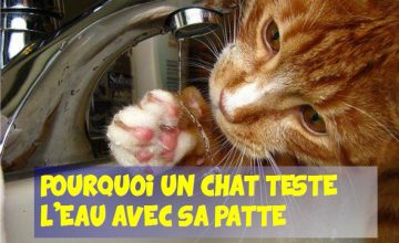chat teste l'eau avec sa patte