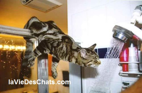 chat boit sous la douche