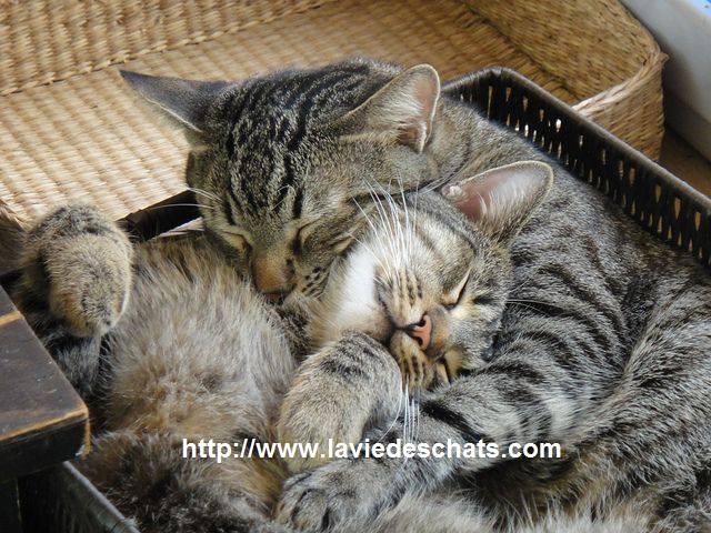présentation entre deux chats