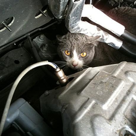 chat sous le capot de voiture
