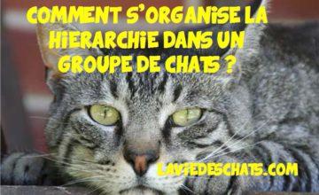 hierarchie des chats dans un groupe