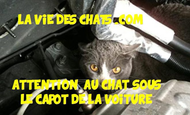 Faites Attention Au Chat Sous Le Capot La Vie Des Chats