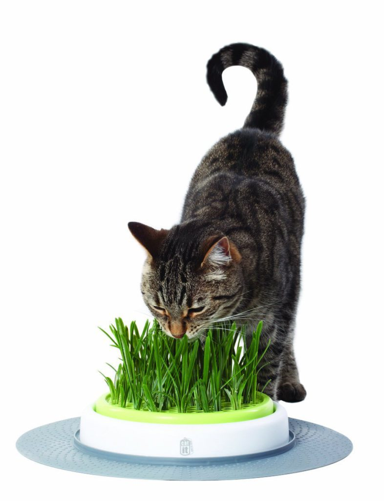 herbe a chats