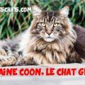 le maine coon, le chat géant