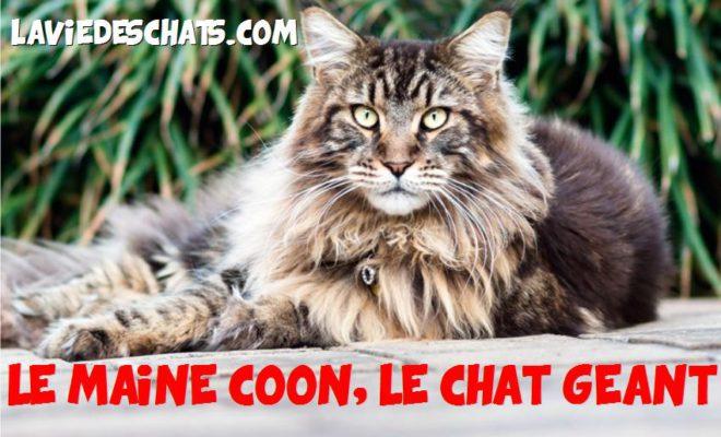 Maine Coon Le Chat G 233 Ant La Vie Des Chats