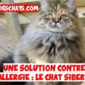 chat sibérien contre l'allergie aux chats
