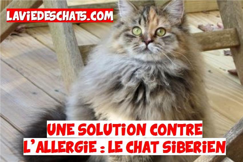 chat sibérien contre l'allergie aux chats