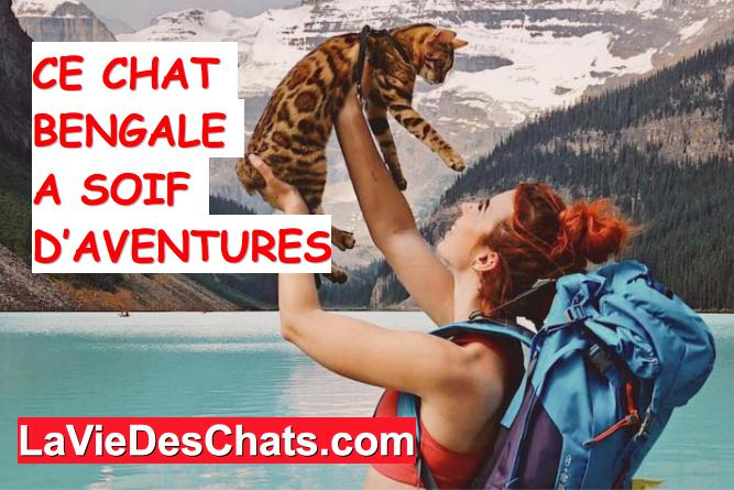 chat bengale aventurier