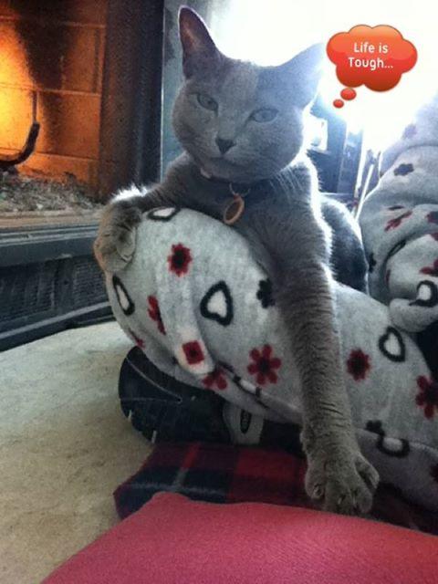 chat gris de florence