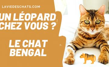 chat bengal leopard