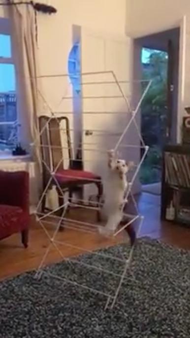 chat dans l'étendoir à linge