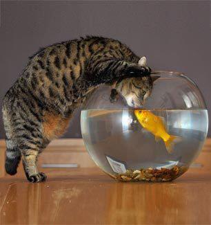 chat fait un bisou a un poisson dans un bocal