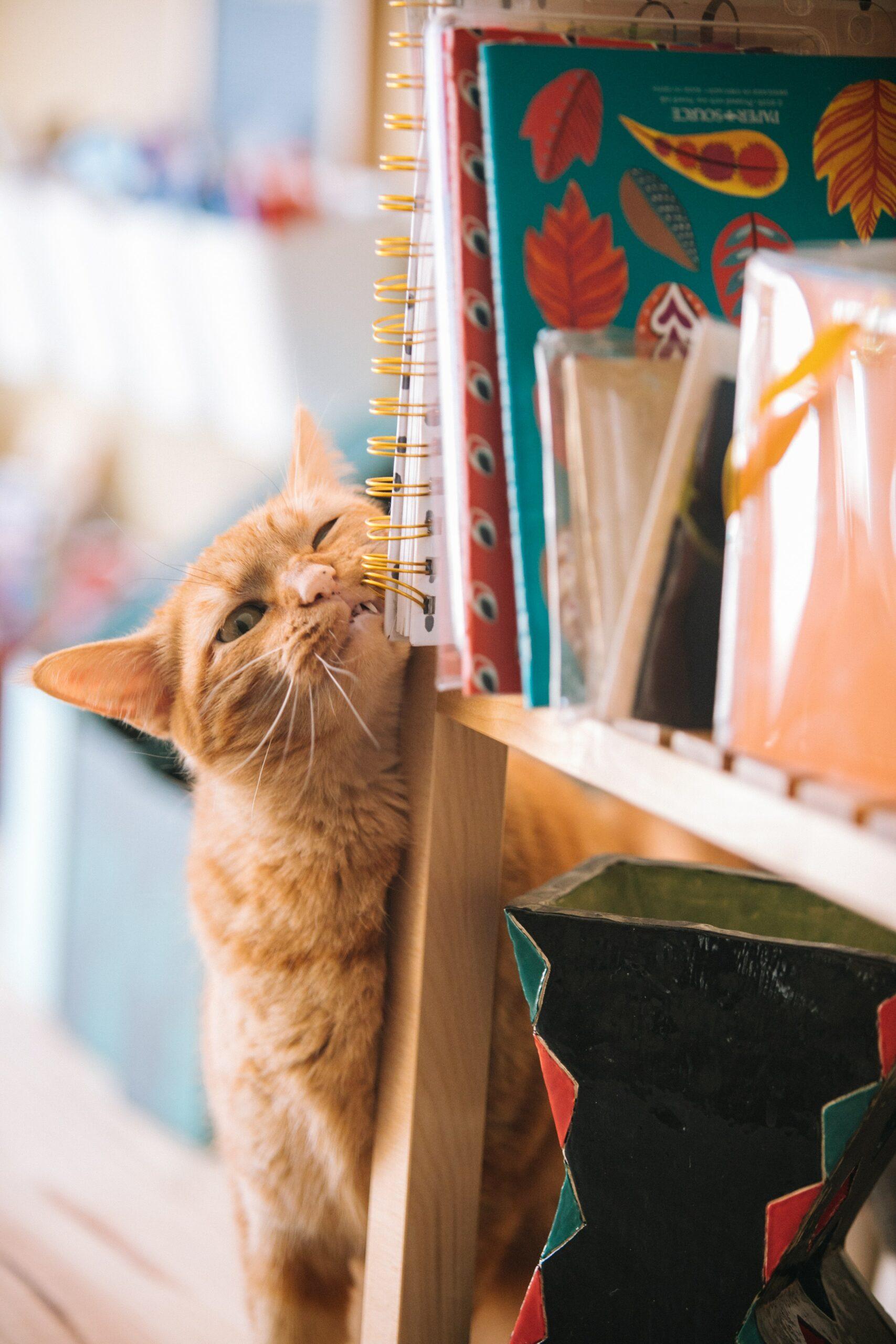 chat roux frotte sa joue contre etagere