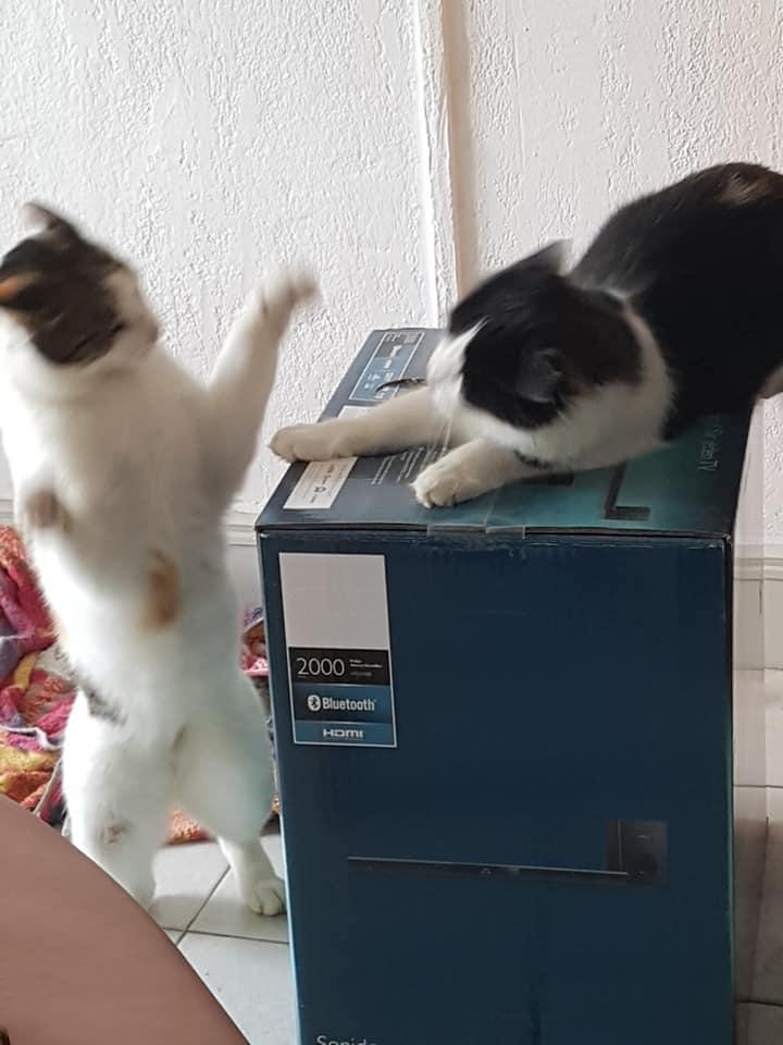 jeu de bagarre de chats chez gérard