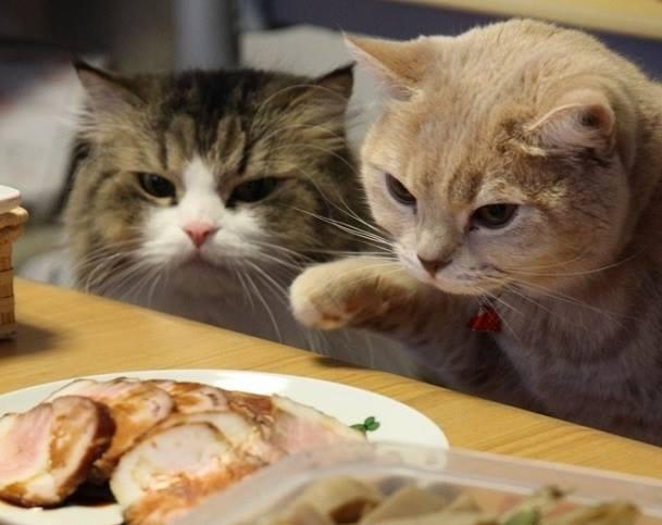 deux chats interessés par viande