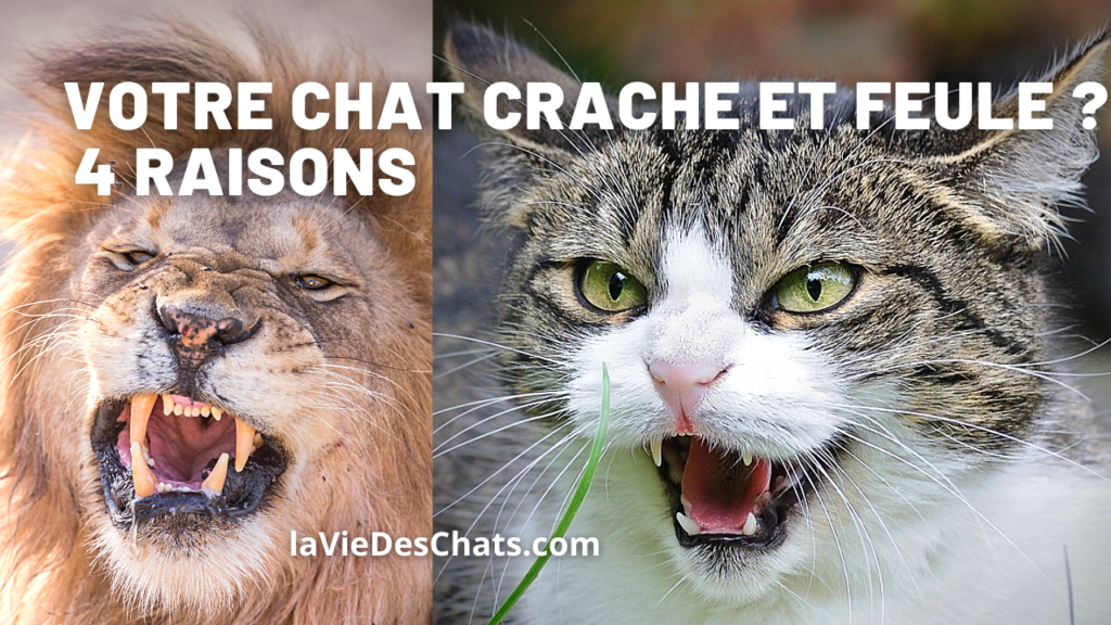 chat crache et feule