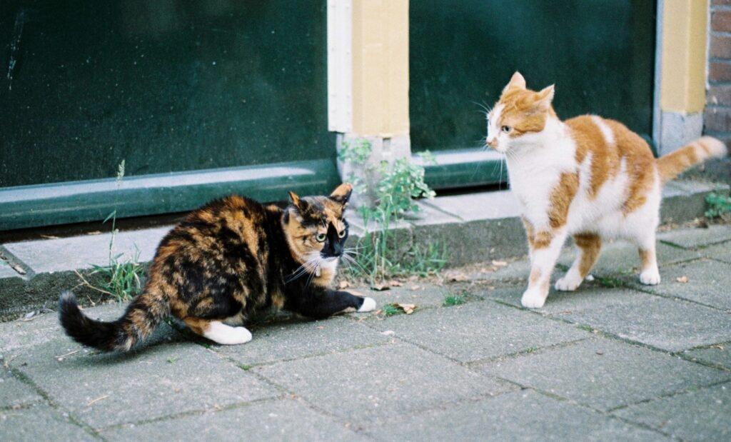 duel de chats